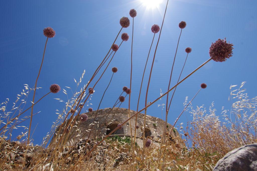 Runde, rosafarbene Blüten an langen Stängeln im Gegenlicht der Sonne, dahinter eine rundliche Festung