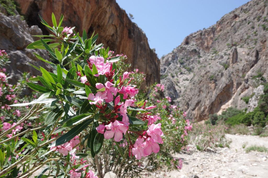 Agiofarango Schlucht: rosa Blüten