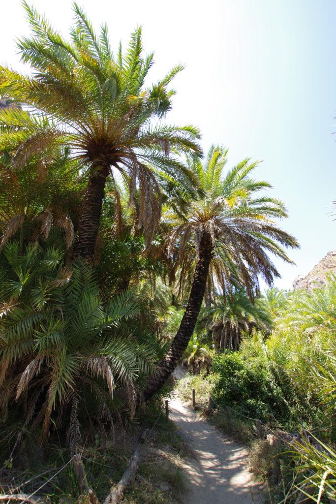 Zwei große Palmen neben Trampelpfad