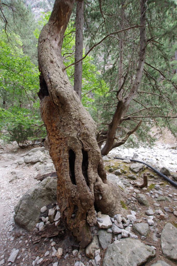 Baum mit Aushöhlungen und Kies