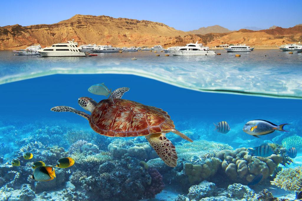 Wassertemperatur Hurghada: Schildkröte im Roten Meer