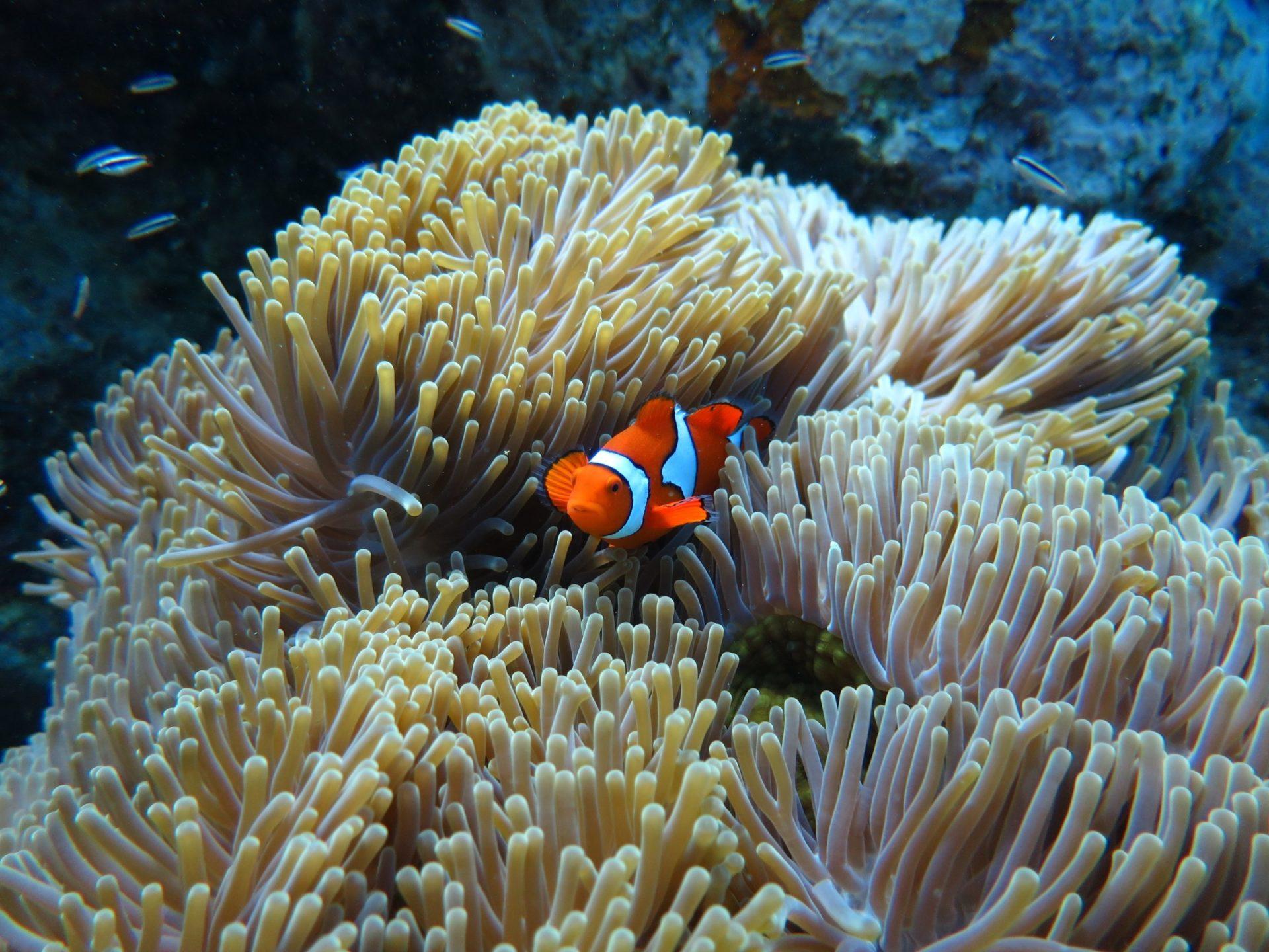 Wassertemperatur Makadi Bay: Im Roten Meer bei Ägypten fühlt sich ein leuchtend orangefarbener Clownfisch inmitten der Fangarme einer Seeanemone pudelwohl.